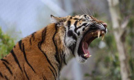 ಎರಡು ಹುಲಿಗಳ ಅಕಾಲಿಕ ಸಾವಿನ ಕುರಿತು:ಯೋಗೀಂದ್ರ ಬರೆವ ಇಂಗ್ಲೆಂಡ್ ಲೆಟರ್