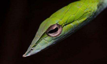 ಸುಮುಖ ಜಾವಗಲ್ ತೆಗೆದ ಗ್ರೀನ್ ವೈನ್ ಹಾವಿನ (Green Vine snake) ಚಿತ್ರ