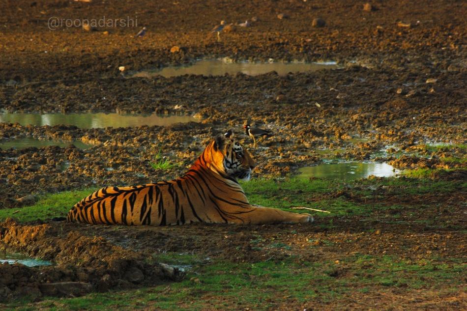 ರೂಪದರ್ಶಿ ಜಿ. ವೆಂಕಟೇಶ್ ತೆಗೆದ ಹುಲಿಯ ಚಿತ್ರ