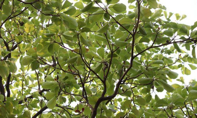 ಶಾಂತಿ ಮರದ ಬಳಿ ಜಂಗಮ ಮುಳ್ಳು ಪೊದೆ: ಮುನವ್ವರ್ ಜೋಗಿಬೆಟ್ಟು ಅಂಕಣ